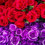 Big beautiful bouquet of red & purple roses. Texture roses colors. A roses gift for a wedding birthday Valentine's Day. Roses background. Roses texture